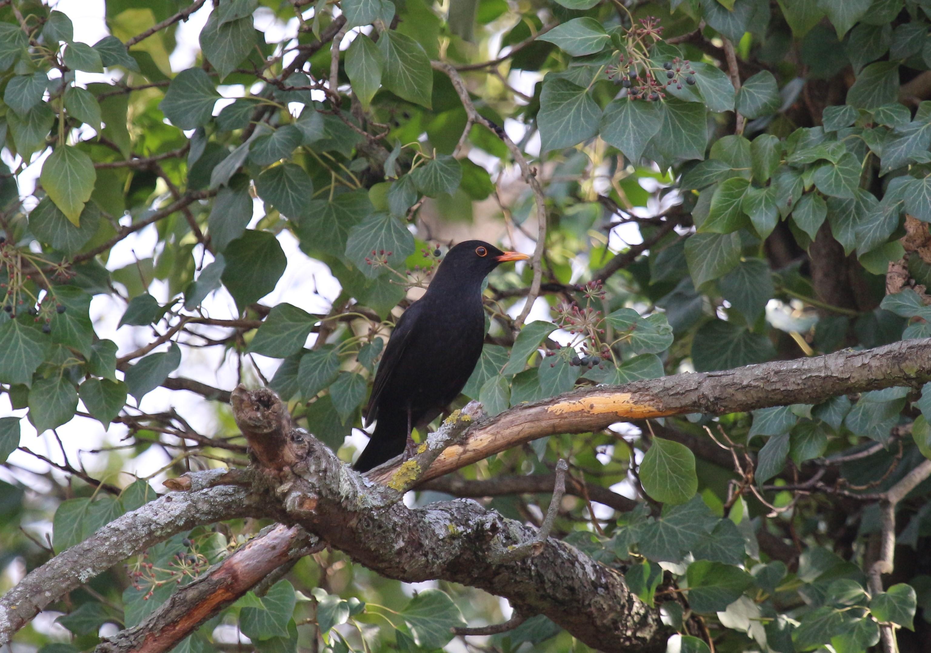 merle noir mâle