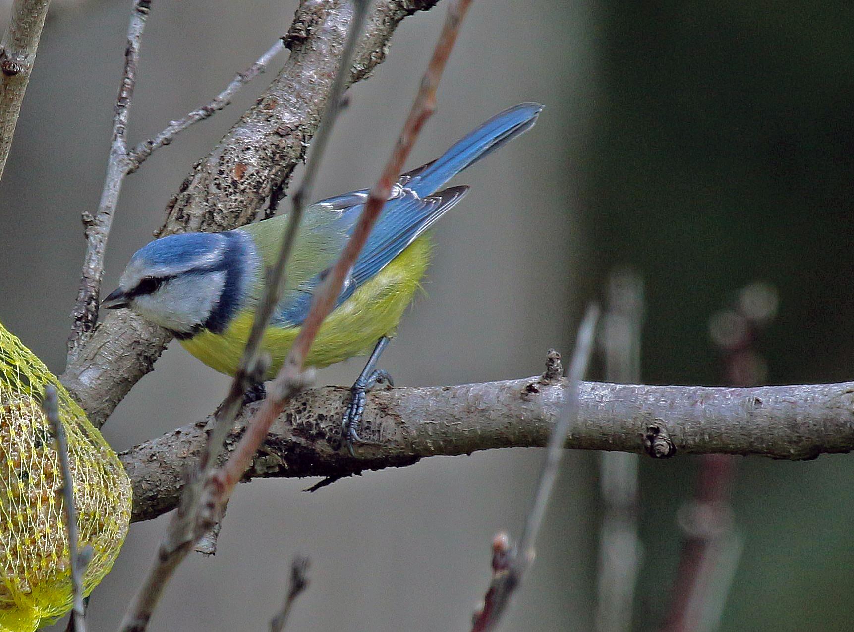 mésange bleue