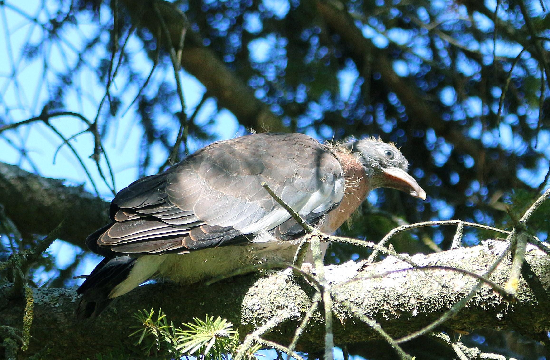 jeune palombe