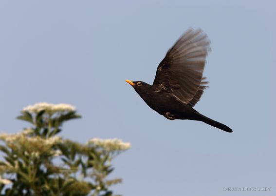 Merle noir mâle en vol