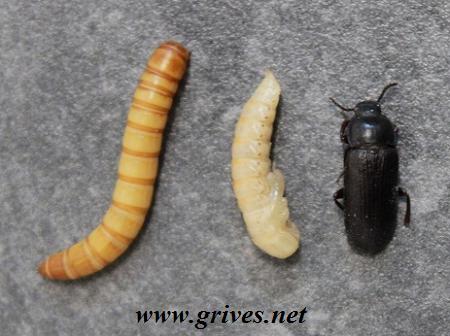 Ver de farine: vers, larve, scarabé